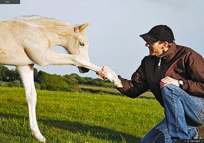 Palomino Welsh Cob filly foal Briallen.