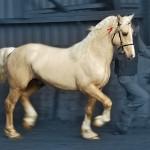 Palomino Welsh cob stallion at stud - Aberaeron Aragorn Aur.