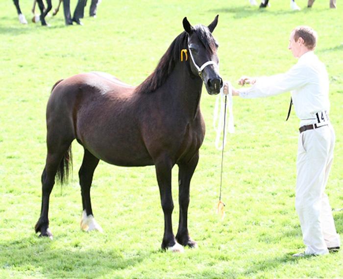 Welsh Cob mare, Aberaeron Black Bess. Royal Welsh Show, 2011.
