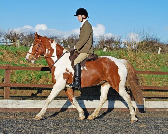 Welsh part-bred dressage horse coloured, Aberaeron Misun