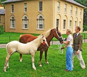 Aberaeron Arwen & Aragorn, palomino welsh cob foal.