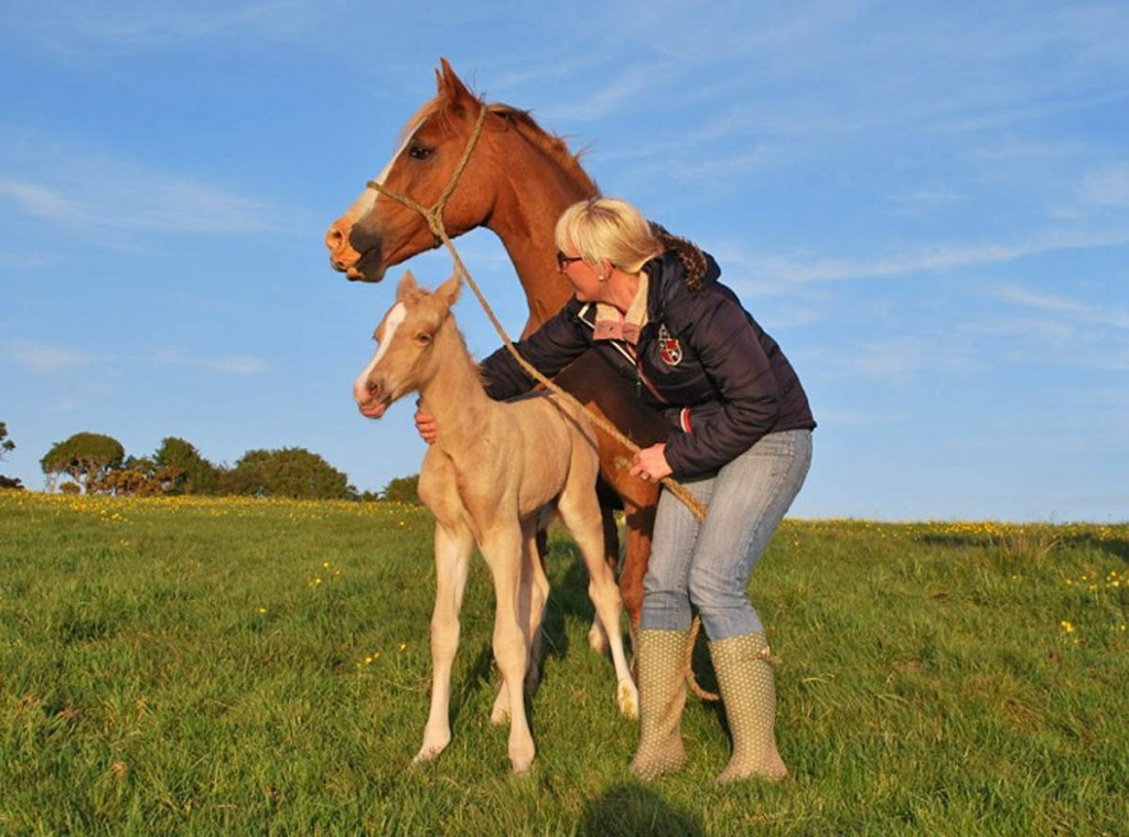 welsh cob palomino foal for sale stud.