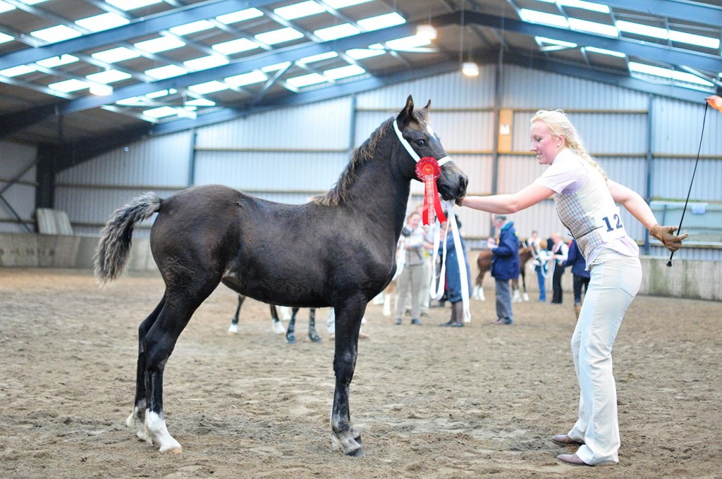Alys - winning welsh cob filly