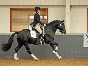 dressage Welsh Cob, black sec D, Rhodri.