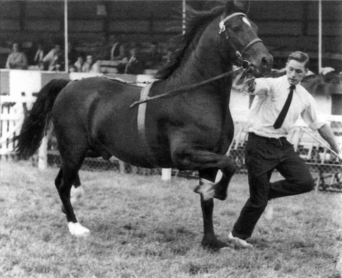 Brenin Dafydd - our old favourite! Seen here at the 1970 Royal Welsh Show winning the GEorge Prince of Wales Cup. Owned by Fronarth Stud, shown by Dafydd 'Ty-Coch' Evans