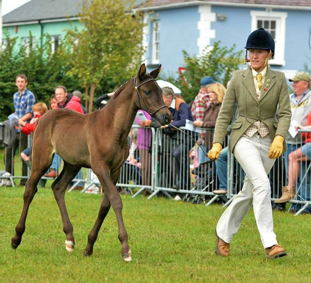 Welsh part-bred at Aberaeron Festival, 2014.