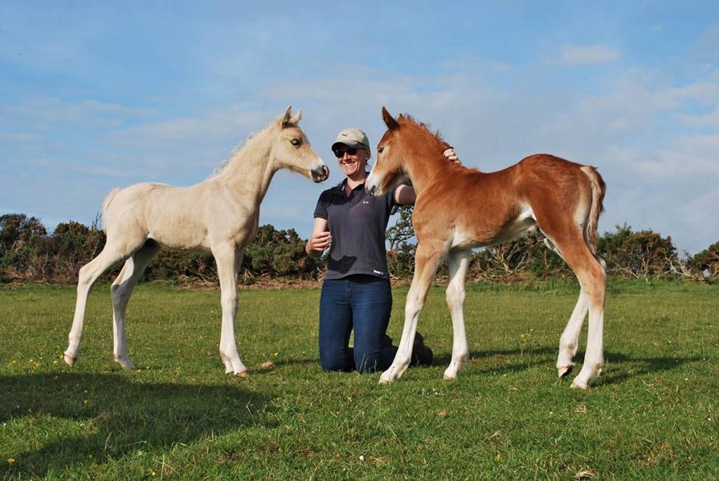 Welsh cob foals at Aberaeron 2015 – palomino colt & chestnut colt.