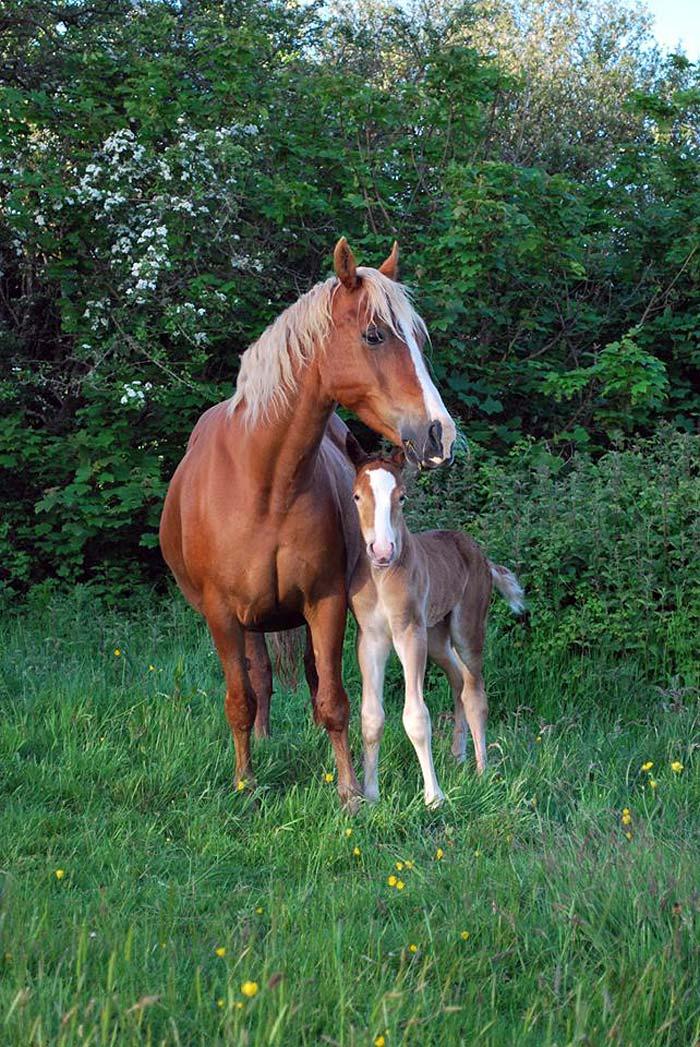 chestnut_foal_2015_03