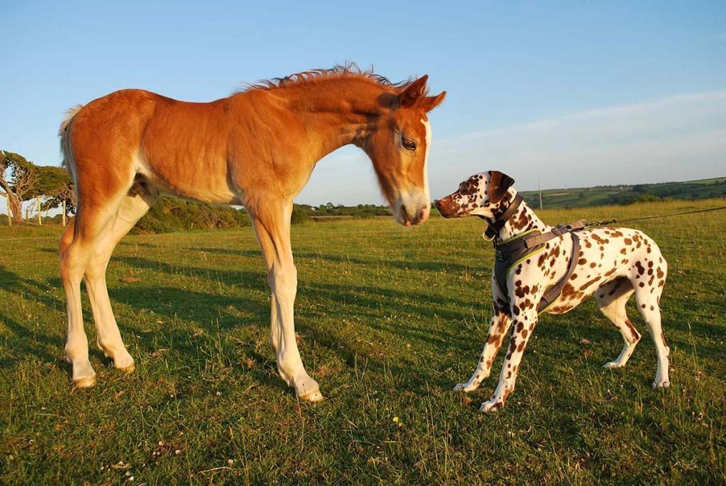 Arwen's foal meeting Rosie (welsh cob colt foal).