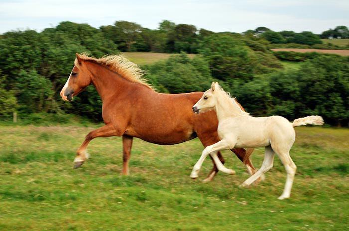 Palomino welsh cob foal