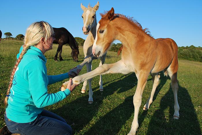 Welsh cob foals at Aberaeron 2015.
