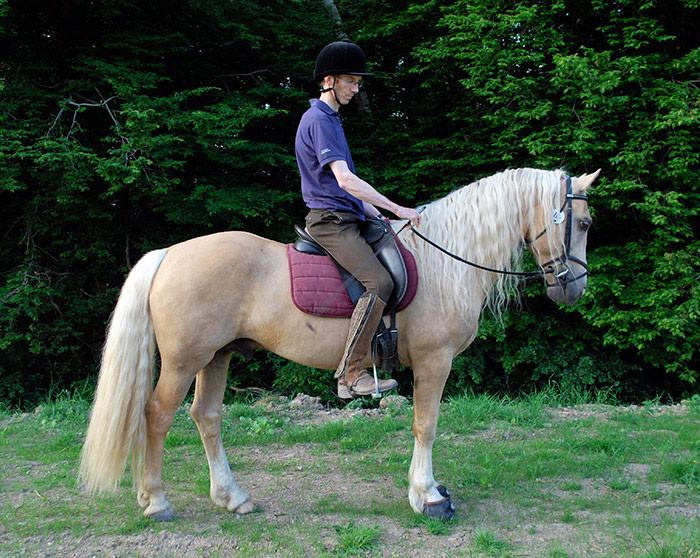 palomino_welsh_cob_stallion_aragorn_05