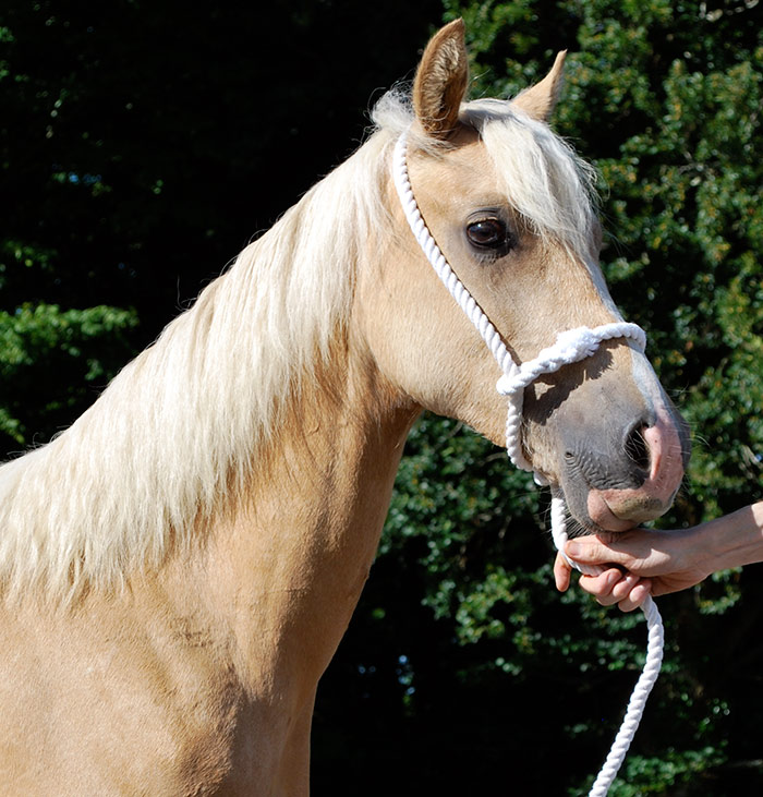 'Aeron' yearling welsh cob gelding – for sale.