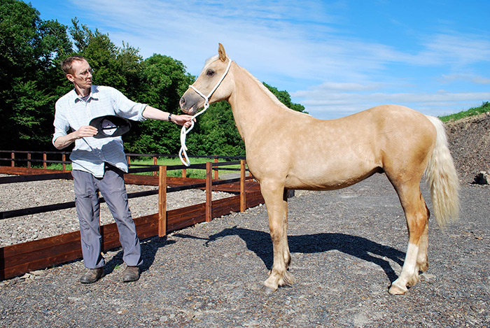 'Aeron' yearling welsh cob sec D gelding – for sale.