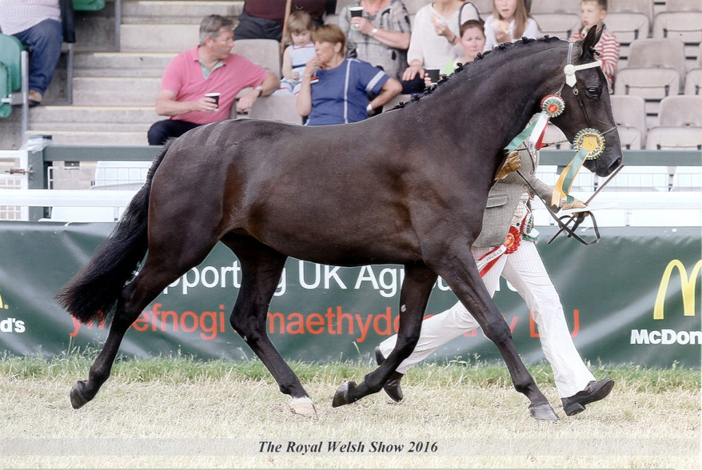 Aberaeron Santillana Valentina (Zara) at the Royal Welsh 2016. Welsh Part-Bred 2/3 y.o., placed 1st - Youngstock Champion, Chapion Female, Reserve Supreme - WPCS Gold Medal winner, home-bred home-produced.