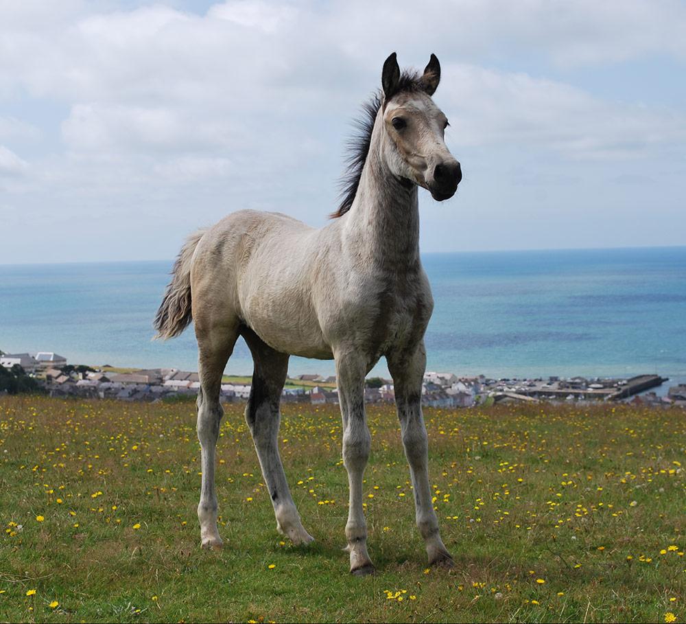 Anastasia, 2019 buckskin Welsh part-bred. Kambarbay (Akhal-Teke) X Aberaeron Alys (Sec D).