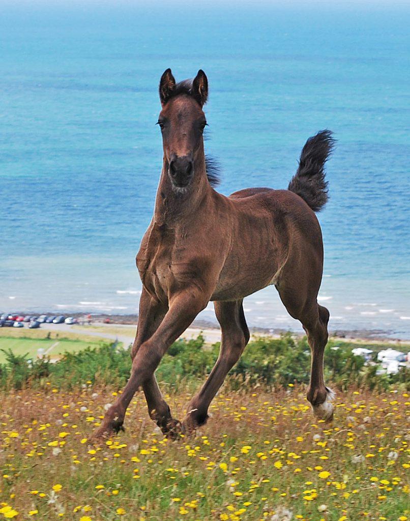 Aberaeron Sir Cai, 2019 black Welsh cob sec D foal. Gwynfaes Seren Wledig X Aberaeron Black Bess.